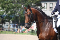 Портрет лошади залива во время выставки dressage Стоковые Фото
