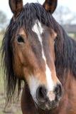 Портрет лошади залива Стоковое Изображение