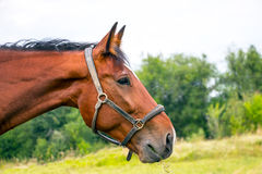 Портрет лошади залива Стоковые Фотографии RF