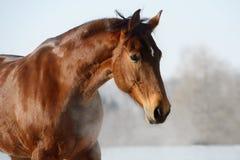 Портрет лошади каштана в зиме стоковые фотографии rf