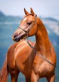 Портрет лошади каштана молодой Стоковые Изображения