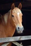 портрет лошади каштана Стоковое Изображение