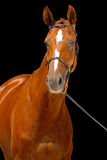 Портрет лошади каштана, Стоковое фото RF