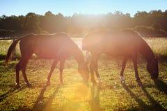 Портрет лошади пася Стоковые Фото
