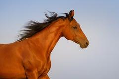 Портрет лошади пегой лошади Стоковые Изображения RF