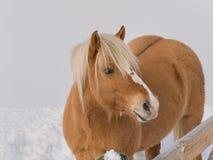 Портрет лошади haflinger в лугах горы вполне снега Стоковые Фото