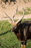Портрет оленей антилопы nyala Стоковая Фотография RF