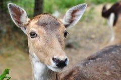 Портрет оленя стоковая фотография rf
