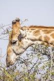 Портрет одичалого жирафа в парке Kruger, Южной Африке Стоковые Изображения