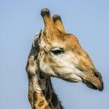 Портрет одичалого жирафа в парке Kruger, Южной Африке Стоковое Изображение