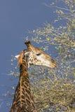Портрет одичалого жирафа в предпосылке, Южной Африке Стоковое Фото