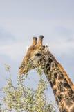 Портрет одичалого жирафа в предпосылке, Южной Африке Стоковое Изображение