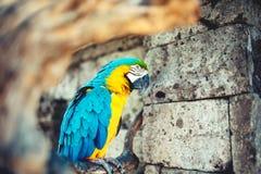 Портрет одичалого попугая, попугая ары в амазонском тропическом лесе Стоковое Фото