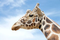Портрет одного жирафа с небом в предпосылке Стоковое Изображение RF