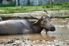 Портрет пакостного, тинного индийского буйвола на поле риса в национальном парке челки Phong Nha ke, Вьетнаме Стоковое Изображение RF