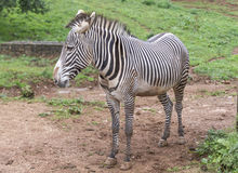 Портрет парка зебры в Испании стоковая фотография rf