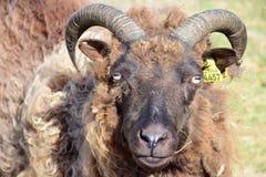 Портрет паршивой овцы с рожками в Исландии стоковые фотографии rf