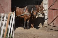 Портрет пар коричневых голов лошадей, в стойке проводки на дворе фермы Концепция лошади Стоковые Изображения