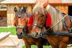 Портрет пар коричневых голов лошадей, в стойке проводки на t Стоковая Фотография