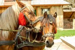 Портрет пар коричневых голов лошадей, в стойке проводки на t Стоковые Фото