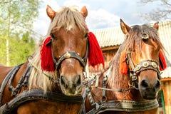 Портрет пар коричневых голов лошадей, в стойке проводки на t Стоковое Фото