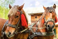 Портрет пар коричневых голов лошадей, в стойке проводки на t Стоковая Фотография RF