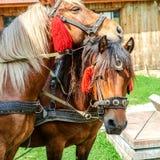 Портрет пар коричневых голов лошадей, в стойке проводки на t Стоковые Изображения