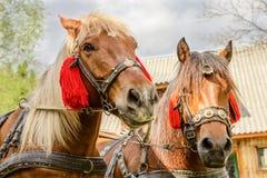 Портрет пар коричневых голов лошадей, в стойке проводки на t Стоковое Изображение
