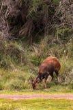 Портрет пася антилопы Гора Aberdare, Кения стоковая фотография