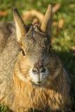 Портрет патагонского mara Стоковое фото RF