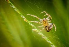 Портрет паука макроса, добыча ловушки на паутине Стоковые Изображения