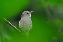 Портрет певчей птицы Blyth камышовой в зеленом цвете Стоковые Изображения RF