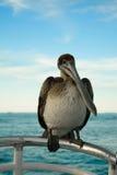 портрет пеликана Стоковые Фото