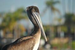 портрет пеликана Стоковое Изображение RF