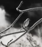 Портрет пересмешника в черно-белом стоковые фотографии rf