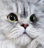 портрет персиянки кота Стоковые Фотографии RF