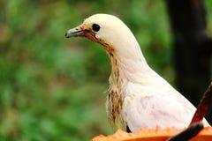 Портрет пестрого имперского голубя Стоковая Фотография