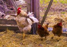 Портрет петуха Петух в ферме Стоковая Фотография