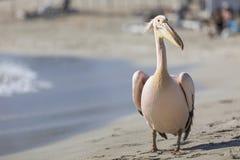 Портрет пеликана близкий поднимающий вверх на пляже в Кипре Стоковое Изображение