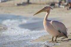 Портрет пеликана близкий поднимающий вверх на пляже в Кипре Стоковые Изображения RF