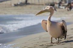 Портрет пеликана близкий поднимающий вверх на пляже в Кипре Стоковые Фотографии RF