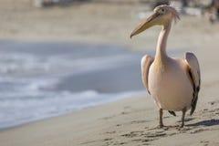 Портрет пеликана близкий поднимающий вверх на пляже в Кипре Стоковые Фото