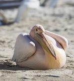 Портрет пеликана близкий поднимающий вверх на пляже в Кипре Стоковое Фото