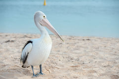 Портрет пеликана близкий поднимающий вверх на пляже Стоковая Фотография RF