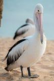 Портрет пеликана близкий поднимающий вверх на пляже Стоковое Изображение RF