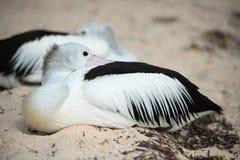 Портрет пеликана близкий поднимающий вверх на пляже Стоковая Фотография