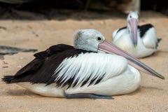 Портрет пеликана близкий поднимающий вверх на пляже Стоковое Фото