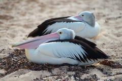 Портрет пеликана близкий поднимающий вверх на пляже Стоковые Изображения