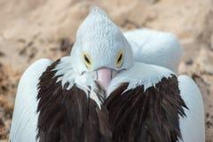 Портрет пеликана близкий поднимающий вверх на пляже Стоковое фото RF