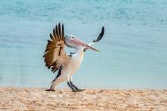 Портрет пеликана близкий поднимающий вверх на пляже Стоковые Фотографии RF